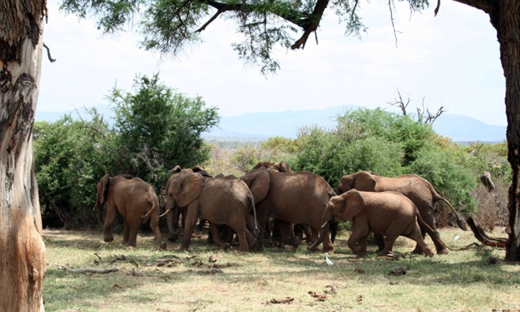 A herd of elephants run from bee sounds in Samburu national park in Kenya. Photograph: Lucy King/AP